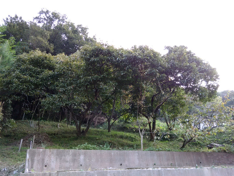 大きな栗の木と柿の木